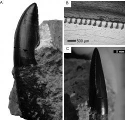 Snímek zubu moravského teropoda i s detailem na vroubkování. Při délce kolem 2,5 cm patřil zub menší až středně velké tetanuře. Pro dospělého člověka by tento dravec nepochybně představoval smrtelné nebezpečí, dělí nás však od něho maličkost – 1 600 000 století geologického času. Kredit:Daniel Madzia (z jeho práce v Acta Paleontologica Polonica).
