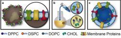 Leukosomem nazvali svůj nový výtvor také bioinženýři. V jejich podání to je váček s proteolipidickou membránou do níž vpašovali povrchové molekuly proteinů z leukocytů. Vodou bohatý vnitřek lze plnit imunitní reakci tlumícími léky. (Kredit: Houston Methodist)