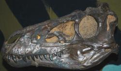Lebka holotypu N. lancensis, objevená roku 1942 v Montaně. Při zhruba půlmetrové délce patřila tyranosauridovi s celkovou tělesnou délkou kolem 5,2 metru. Stále však není jasné, zda byl její majitel samostatným rodem a druhem nebo šlo o mládě druhu Tyrannosaurus rex. Kredit: James St. John, Wikipedie (CC BY 2.0)