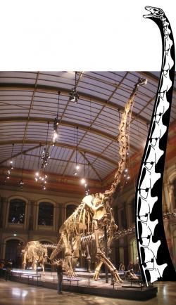 Gigantický krk barosaura(?) dlouhý 17 metrů, tedy o poznání vyšší než nejvyšší smontovaná kostra dinosaura na světě (Giraffatitan brancai v Berlínském přírodovědeckém muzeu s výškou 13,2 metru). Kredit: Taylor a Wedel, web SVPOW.