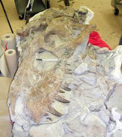 Částečně zachovaná lebka bistahieversora dosud spočívající v hornině. Některé zvláštní anatomické znaky tohoto tyranosaurida umožnily stanovení nového rodového jména. Tento mohutný teropod představoval dominantního predátora na území Nového Mexika v době před 74,5 miliony let. Kredit: Bureau of Land Management (US Federal Government), Wikipedie