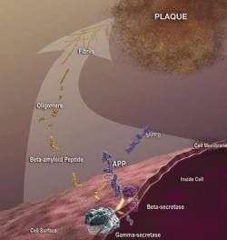 """Jakmile odštěpené řetězce amyloidových peptidů se začnou do sebe šmodrchat, vytvoří nerozpustné agregáty a dají vznik """"plakům senility"""" (alzheimerovské plaky). Tyto hromádky extracelulárního odpadu jsou charakteristickým znakem onemocnění. I když je diagnóza """"Alzheimer"""" nemilosrdně definitivní, krutou je spíš pro okolí postiženého. Cynik by řekl, že osud je k takovým nemocným víc milostiv, než k těm, kterým uchystal umírat v bolestech. (Kredit: www.nia.nih.gov )"""