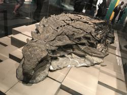 Fantasticky dochovaná fosilie nodosauridního ankylosaura na výstavě. Zaživa byl tento obrněný dinosaurus nejspíš rezatě zbarvený, měřil asi 5,4 metru na délku a vážil necelých 1,5 tuny. Kredit: Machairo, Wikipedie (CC BY-SA 4.0)