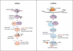 RNA interference - obranný mechanismus buňky proti cizorodé (hlavně virové) RNA nebo kposttranskripční regulaci vlastních genů. Obrázek podle Jinek a Doudna (2009) Nature 457: 405-12. doi: 10.1038/nature07755.