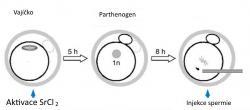 """Místo oplození se provede aktivace chloridem strontnatým. Vzniká partenogenetické embryo (s polovičním počtem chromozomů a neschopné normálního vývoje). Injekce spermie do haploidního """"mrzáčka"""" zvládá situaci """"napravit"""". Alespoň do té míry, že zajistí vývoj a narození živých myšek. (Kredit: Toru Suzuki et al.,  Nature Communications, 2016)"""