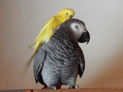 """Přátelství mezi samečky dvou nejlépe imitujících papouščích druhů.  Zatímco větší žako dokáže pochopit význam většiny naučených slov a používat je vpříslušných souvislostech, andulka imituje zvuky svého hejna. Proto se """"mluvit"""" nejlépe naučí od mala osaměle chovaný krotký sameček. Jen málo odposlouchaných slov si spojí skonkrétním významem.  Kredit: Osel.cz"""
