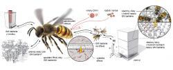 Geneticky modifikované (GM) bakterie ve střevě včely produkují dvouřetězcovou RNA (dsRNA), která u hostitele spustí imunitní ochranu založenou na RNAi. Ta zničí virovou infekci. dsRNA proti genům roztoče Varroa u tohoto parazita spustí jeho vlastní RNAi, která utlumí expresi 14 nezbytných genů. Včely si bakterie předávají krmením. Přenos GM bakterií nebo jejich genetické informace do jiných hostitelů je zatím předmětem zkoumání. Obrázek z Paxton (2020) A microbiome silver bullet for honey bees. Science 31: 504-506. DOI: 10.1126/science.aba6135