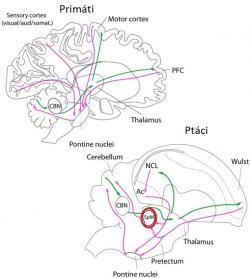 Mozkové informační cesty mezi mozkovou kůrou a mozečkem u primátů a ptáků. U savců informace z kůry do mozečku procházejí jádry mostu (pontine nuclei). U ptáků část signálů zkoncového mozku (telencephalon) do mozečku také vedou přes dvě jádra mostu (medial a lateral pontine nuclei, PM and PL), další část pak směřuje přes přídavnou strukturu, střední spirální jádro (medial spiriform nuclei, SpM). U savců mozeček přes svá jádra (cerebellar nuclei, CBN) posílá zpracovaný signál do talamu, který pak vysílá do různých kůrových center pro pohyb a asociace. U ptáků signály také směřují zmozečku do talamu, ale přes boční mozečková jádra (lateral cerebellar nukleus). Ptačí talamus pak kontaktuje oblast zvanou nidopallium caudolaterale (NCL, což je ptačí analogie naší prefrontální mozkové kůry) a oblast snázvem Wulst (hyperpallium, ptačí analog motorické oblasti kůry).  Kredit: Cristián Gutiérrez-Ibáñez, Andrew N. Iwaniuk, Douglas R. Wylie (2018) in Scientific Reports/Creative Commons 4.0