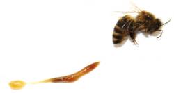 Vypitvaná včela (tráviaci trakt aj smedovým vačkom).