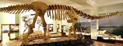 Rekonstrukce kostry opistocélikaudie v expoziciMuzea evoluce při Polské akademii věd ve Varšavě. Podoba krční části kostry a lebky je pouze hypotetická a rekonstrukce vychází plně z odlitku lebky roduNemegtosaurus(který může být se skutečnosti konspecifický s opistocélikaudií).Kredit:Adrian Grycuk; Wikipedia (CC BY-SA 3.0 pl)