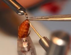S takovým vybavením lze provádět umělé oplodnění královny a nebo oplodnění spermiemi bez semenné tekutiny, případně fingované oplodnění vpravením prostého fyziologického roztoku do reprodukčního traktu. Kredit: CIBER.