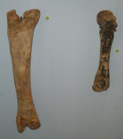 Fosilní kosti končetin druhu Orthomerus dolloi, pozdně křídového hadrosauroida, žijícího v době před 70 až 66 miliony let na území dnešního Nizozemska. Ukrajinský dinosaurus byl Rjabininem přiřazen právě k tomu rodu, dnes už je ale jisté, že se ve skutečnosti nejednalo o blízce příbuzné taxony. Kredit: Ghedoghedo; Wikipedie (CC BY-SA 3.0)