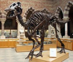 Kostra kachnozobého dinosaura druhu Edmontosaurus annectens, jednoho z posledních dinosauřích býložravců, žijících před koncem křídy. Je velmi nepravděpodobné, že by již dlouho před katastrofou na konci křídové periody tito dinosauři vymírali z důvodu postupné otravy toxickými druhy rostlin. Kredit: Kevin Walsh, Wikipedie (CC BY 2.0)