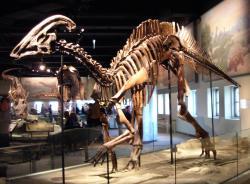 Kostra druhu Parasaurolophus cyrtocristatus v expozici Field Museum of Natural History v Chicagu. Tento druh byl popsán v roce 1961 americkým paleontologem Johnem H. Ostromem (1928 – 2005). Kredit: Lisa Andres, Wikipedie (CC BY 2.0)