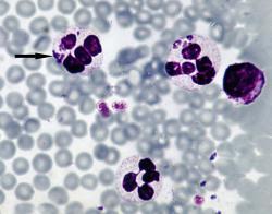 Parazit Anaplasma p. infikuje bílé krvinky. (Kredit: Wikimedia Commons CC BY-SA 3.0)