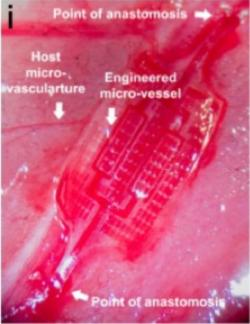 """Robustnější a již prověřená srdeční záplata AngioChip, je loňským úspěchem laboratoře vedené prof. Milica Radisic. Dvě místa označená šipkami s popiskou """"Point of anastomosis"""" ukazují funkční překlenutí části srdečního svalu, kde záplata obnovila krevní zásobení. Kredit: Boyang Zhang et al. 2016. Department of Chemical Engineering, University of Toronto."""