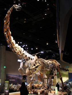 Zlatým hřebem expozice Perotova muzea je obří kostra alamosaura, vedle které vypadá i kostra dospělého tyranosaura vcelku drobná. Největší jedinci alamosaurů byli nejspíš ještě o trochu mohutnější, což je už řadilo do velikostní kategorie argentinosaura. Kredit: Rodney, Wikipedie (CC BY 2.0)