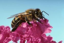 Počty včelstev v USA klesají od osmdesátých let minulého století. (Kredit: Rob Flynn)