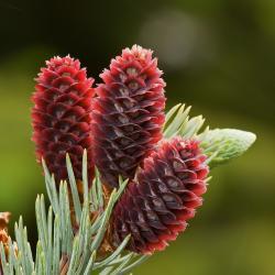 """To, čemu my laikové říkáme, u smrku květ, není květ. Je to šištice a semena v ní ukrytá jsou """"nahá"""". Leží na podpůrných dřevnatících šupinách dávajících vznik šišce. Na takových se živili předchůdci dnešní motýlů, než se přeškolili na květy rostlin krytosemenných. Kredit: JJ Harrison"""