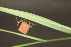 Mikrobaterie je tak lehká, že ji unese hmyz. Kredit: University of Pennsylvania.