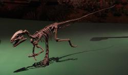 Rekonstruovaná kostra nejstaršího známého ptakopánvého dinosaura – kontroverzního druhu Pisanosaurus mertii. Tento malý, jen asi 1 metr dlouhý a několik kilogramů vážící býložravec obýval oblast dnešní Argentiny v době před 229 miliony let. Představuje tedy důkaz o pravděpodobném společném vzniku plazopánvých i ptakopánvých dinosaurů v období středního až raně pozdního triasu. Na snímku exponát v kanadském Royal Ontario Museum. Kredit: Eduard Solà; Wikipedie (CC BY-SA 3.0)