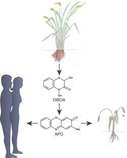 Některé rostliny vylučují svými kořeny kyselinu DIBOA. Jejich metabolity zpomalují jiným rostlinám růst. Jejich schopnost manipulovat s enzymem histondeacetyláza by se nám mohla hodit  k léčbě některých typů zhoubného bujení. (Kredit:  MPI f. Developmental Biology/ C. Becker, S. Petersen and University Hospital Tübingen/M. Burkard)