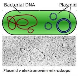 Bakteriální buňka má chromozom a kromě něj část své DNA  ještě ve formě plasmidů.  Plasmidy (pro puristy jazyka plazmidy), jsou kratičké kruhové molekuly DNA schopné nést informaci pro tvorbu enzymů štěpících antibiotika. Jedna bakteriální buňka může nést i stovky plasmidů. Bakterie s nimi mezi sebou rády kšeftují procesem zvaným konjugace. (Kredit:  Spaully a de:Benutzer:Sec11, Wikipedia)