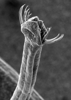 Dnešní ploutvenka také zabíjí tetrodotoxinem, vyrábí si ho bakteriemi v  hlavové části. (Kredit: Zatelmar CC BY-SA 3.0)