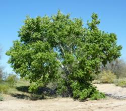 Topoly neumí to co rostliny motýlokvěté, přesto patří k nejrychleji rostoucím dřevinám. Dusíku se domohou díky bakteriím, které místo v kořenech, hostí ve svých korunách. (Kredit: www.public.asu.edu)