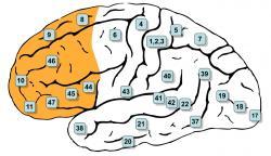 Pracovní paměť, od níž se fluidní inteligence odvíjí, má sídlo vprefrontální kůře (žlutě).