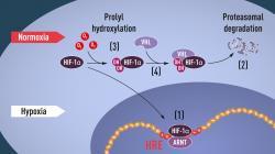 Pri normálnej hladine kyslíka (normoxia) je HIF-1α proteín rýchlo eliminovaný. Pri jeho nedostatku (hypoxia) sa hromadí, vstupuje do jadra obličkovej bunky a zapína gén pre tvorbu erytropoetínu, ktorý zvyšuje produkciu prenášačov kyslíka - červených krviniek. Kredit: Nobelprize.org.
