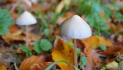 Přírodní zdroj psylocybinu – lysohlávka. Kredit: CC 0  Public Domain
