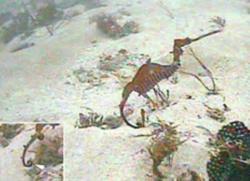 Phyllopteryx dewysea. Bílá šipka ukazuje na zatočený ocas. Další obrázky  ZDE