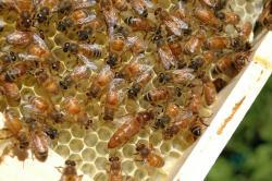 Vzájemná komunikace včel je jednoduchá, ale složitější, než jsme se domnívali.Kredit: Pixabay / CC0 Public Domain