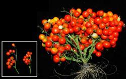 Upravené rajče trojitou mutací (kredit:Cold Spring Harbor Laboratory).