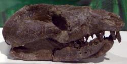 Lebka jednoho z největších známých druhohorních savců, druhu Repenomamus giganticus z řádu Gobiconodonta. Tito asi jako jezevec velcí tvorové žijící před 125 miliony let na území dnešní Číny dokonce pojídali mláďata menších druhů dinosaurů (např. rodu Psittacosaurus), pokud k tomu měli příležitost. To ale nemění nic na faktu, že doba savců přišla až po vyhynutí neptačích dinosaurů na konci křídy. Kredit: Laikayiu, Wikipedie (CC BY-SA 3.0)