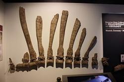 """Rekonstrukce fosilií holotypu spinosaura v podobě, v jaké je objevil Markgraf a později zkoumal Stromer. Výrazné jsou zejména extrémně prodloužené výběžky obratlů, tvořící zaživa mohutný """"hřeben"""" na hřbetě dinosaura. Původní fosilie byly bohužel zcela zničeny při spojeneckém náletu na Mnichov v roce 1944. Rekonstrukce zkamenělin byla vyhotovena v rámci výstavy National Geographic Museum Spinosaurus Exhibit. Kredit: Ryan Somma; Wikipedie (CC BY 2.0)"""