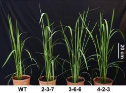 """Zcela vlevo neupravená rýže  Oriza sativa L.cv. Zhonghua11. Vpravo jsou její GOC """"mutanti"""". I zde je patrné, že jim modifikace na radostech života neubrala. Jsou zelenější, jejich listy širší a více oddenků dělají rostliny """"košatější"""". Kredit: Bo-Ran-Shen State Key Laboratory for Conservation, South China Agricultural University, Guangzhou"""