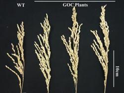 Zcela vlevo je klas rýže Oriza sativa L.cv. Zhonghua11, která se vyznačuje nízkým vzrůstem a krátkými obilkami. Je rostlinou snášející suché podnebí východní Asie a je základem nespočtu vyšlechtěných radiačních mutantů. Tři další klasy náleží GOC variantám. Už na první pohled je patrné, že jsou větší a na zrna bohatší. Kredit: Bo-Ran-Shen State Key Laboratory for Conservation, South China Agricultural University, Guangzhou