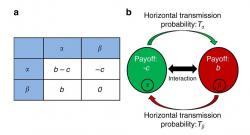 Schema matematického modelu. Vlevo: Matice přínosu. Vpravo: Pravděpodobnost horizontálního přenosu mikrobů mezi hostiteli. Je pravděpodobné, že mikrobi na své hostitele působí tak, že začnou pomáhat jiným. Jde o vztah, ze kterého těží i další parazité a jen hostitel je tím, kdo přichází zkrátka. (Kredit: Lewin-Epstein et al. Nature Communications).
