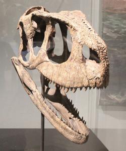 Rekonstruovaná lebka rugopse na výstavě National Geographic Spinosaurus Exhibit. Dobře patrný je vrásčitý povrch lebky i jedna ze dvou řad záhadných otvorů na horní části lebky. Zaživa snad mohly sloužit k u kotvení hřebínku z měkké tkáně. Kredit: Ryan Somma, převzato z Wikipedie