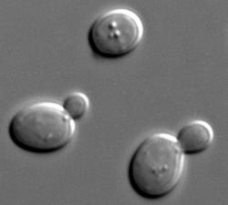 Pivní kvasinky (Saccharomyces cerevisiae). Ty geneticky modifikované mají nakročeno dělat chmelené pivo bez chmelu.