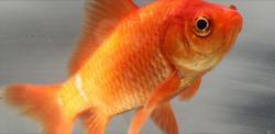 Zlatá rybka alias karas zlatý patří spolu s karasem obecným do stejnéhorodu. Kredit: Bjwebb, English Wikipedia, volné dílo)