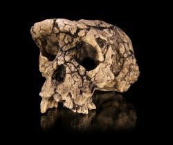 Z afrického vyhynulého hominida Sahelantropa se nám zachovala lebka, čelist a zuby. Nyní se ukázalo, že evropský Graekopiték byl ještě starší. Kredit Didier Descouens, Wikipedia, CC BY-SA 4.0