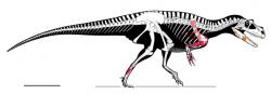 Rekonstrukce kostry italského teropoda druhu Saltriovenator zanellai. S délkou až 7,5 metru a hmotností kolem 1,5 tuny představoval prvního skutečně velkého teropodního dinosaura. Jeho zhruba stejně velký (ale mnohem slavnější) severoamerický příbuzný druhu Ceratosaurus nasicornisžil až o téměř 50 milionů let později. Kredit: Cristiano Dal Sasso, Simone Maganuco, Andrea Cau; Wikipedie (CC BY 4.0)