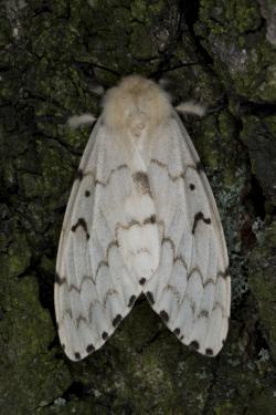 Bekyně velkohlavá, ve většině světa známá pod jménem gypsy moth, působí kalamity i u nás. Trvají vždy tři až čtyři roky a zhruba po 10 až 20 letech se opakují. Holožír pak postihuje jak lesní porosty, především duby, tak i stromy ovocné.Na snímku je samička nafocená v Polsku. Autor snímku Jerzy Strzelecki, CC BY 3.0.