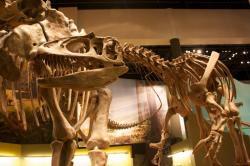 Rekonstruovaná kostra obřího teropoda druhu Saurophaganax maximus. Dosud není jisté, zda šlo o samostatný druh nebo pouze o obří exempláře již dobře známého alosaura. Kredit: Chris Dodds, Wikipedie (CC BY-SA 2.0)