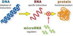 Nekalou úlohu v přenosu hrají molekuly mikroRNA Kredit: Integragen.