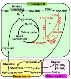 """Čínští vědci u své GOC rýže eliminovali zbytečnou """"objížďku"""", která  snižuje výkonnost fotosyntézy a zvyšuje tím rostlině její výnosový potenciál. Čínské schéma jakoby z oka vypadlo tomu z University of Illinois. Je z něj patrné, že oba tými pracovaly stejnou metodou. Kredit: Shen, et al.  Molecular Plant, 2019."""