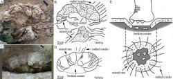 """Podklad otisků stop sauropodních dinosaurů představuje sférický útvar, připomínající vzdáleně zkamenělý """"květák"""" nebo nerozvinuté poupě květiny. Právě tak na tyto pozůstatky dávných dinosauřích obyvatel křídové Číny nahlíželi místní. Kredit: Xinget al.,Geological Bulletin of China."""